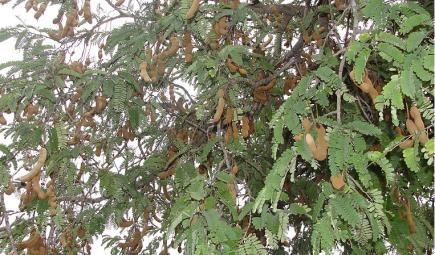 lustrasi: Pohon Asam alias tambaring (English: Tamarind)